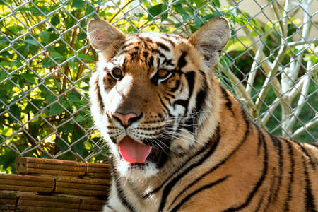 lengua afuera: tiger stare looking tongue out Foto de archivo