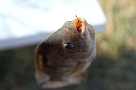 Fish Tilapia hanging hook fishing Stock Photo