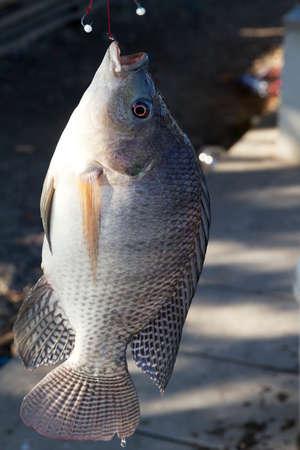 nilotica: Fish Tilapia hanging hook
