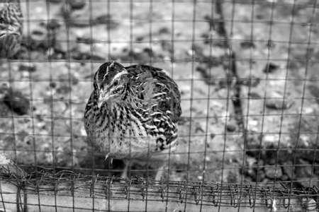 przepiórka klatka ptak zwierzę gospodarstwo brązowe czarnym bieli
