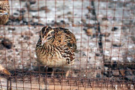 przepiórka klatka ptak zwierzę gospodarstwo brązowy Zdjęcie Seryjne