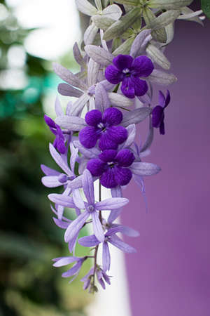 petrea: petrae volubilis white purple flower nature