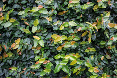 Ficus pumila bindweed wall covered plant close up