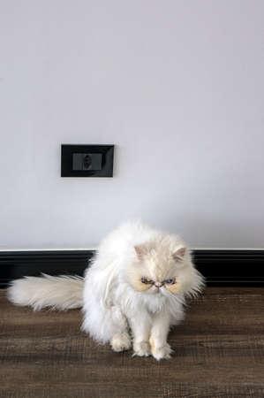cat persian purebred stare looking pet  wooden floor Stock Photo