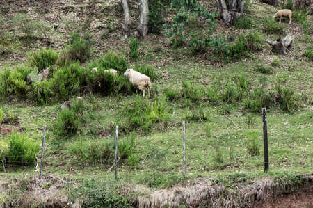 hill  sheep grazing grass barbed wire fence Stock Photo