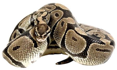 corn snake posion serpent animal wildlife danger illustration