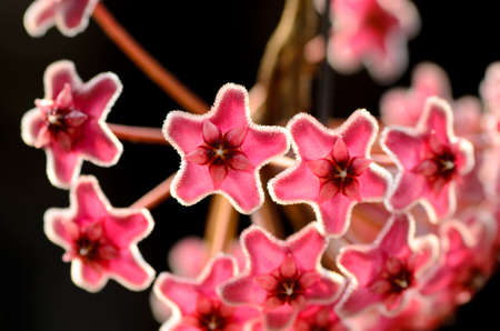 starlet: Closeup detail of a flowery wax plant or Hoya camosa L.f. R.Br.