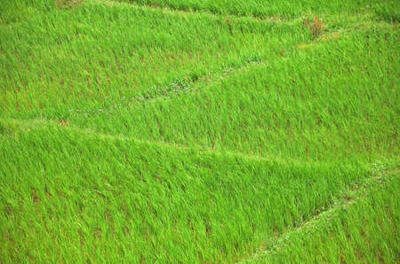 upland: Upland rice in the north of Thailand. Stock Photo