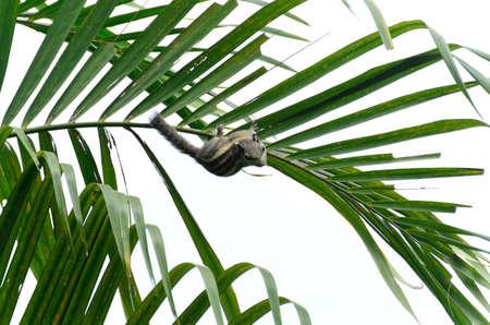 ardilla: Chipmunk en las hojas de coco