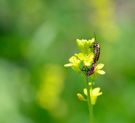 pentatomidae: two cabbage bug on yellow flowers