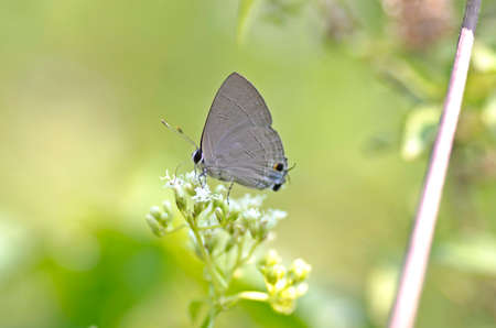lycaenidae: Common Tit butterfly is a small butterfly from Thailand