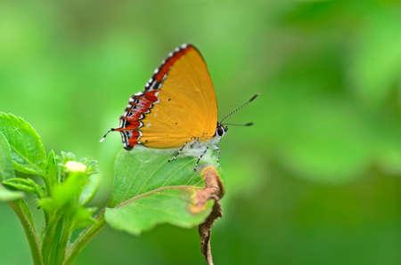 zafiro: mariposa de zafiro de oro Foto de archivo