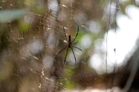golden orb weaver: Golden Orb-web Spider giant spider in the forest.