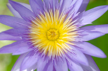 Close-up van paarse waterlelie bloemen bloeien.