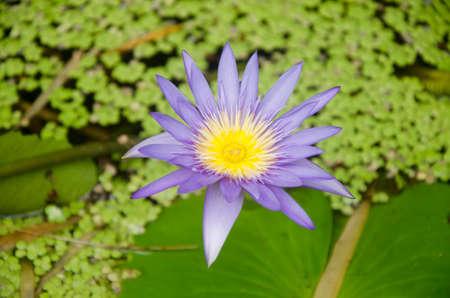 Close-up van paarse waterlelie bloemen bloeien. Stockfoto - 48695188