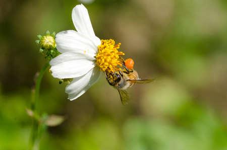 florae: Apis florae species of small bee Stock Photo