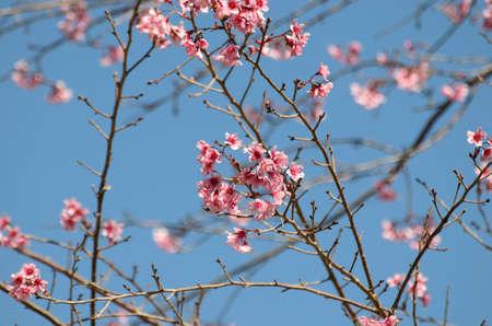 himalayan: Wild himalayan cherry flower