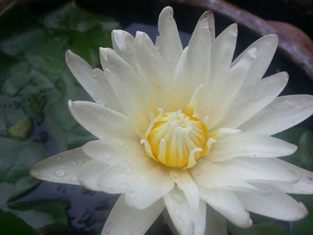 Close-up van witte waterlelie bloem bloeien