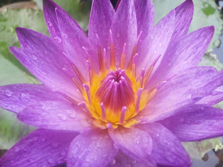 Close-up van paarse waterlelie bloem in bloei