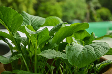 A very popular vegetable consumed plant grow faster. Harvesting of only 35-45 days, it can be harvested. The vegetables are nutrient-dense. Used to cook soup with fried vegetable dip, etc., can be grown all summer and planted vegetable gardens across the  Stock Photo
