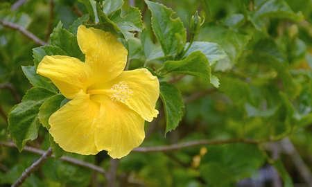 nicked: Hibisceae