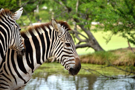 Animals, mammals, ungulates odd. The currency is stable (Eguus) and arranged in subgenus Hippotigris (eg zebra, tiger) and Dolichohippus. There are three types Stock Photo
