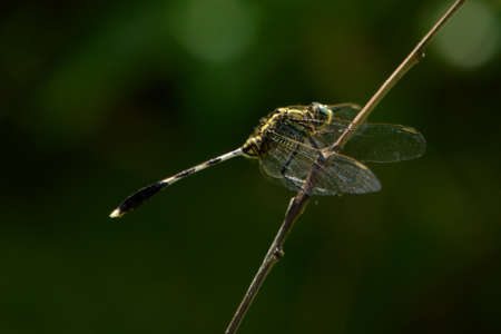 Dragonfly is an insect whose larvae live in the water. Adults live on land have wings to fly. Dragonflies are a process of growth is not perfect egg, larva and adult. No pupal stage The range eggs and larvae live in water.