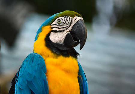 Poultry is a family Psittacidae Macaw is a large bird family hookworm. Popular culture because the colors are beautiful, tame and could imitate people. Stock Photo