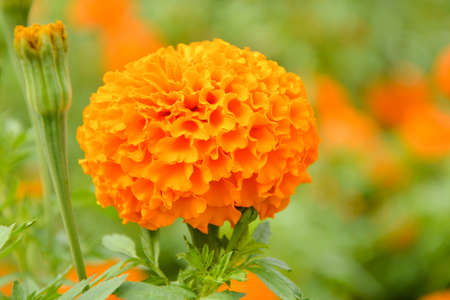 Marigold flowers are planted several varieties, such as the trade in species include Salt River Rain. There are also new species are imported. Jamaica species And several other species Marigold is mainly propagated by seed. Cuttings may be used But it has