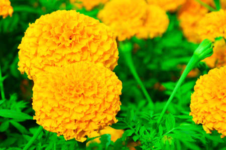 propagated: Marigold flowers are planted several varieties, such as the trade in species include Salt River Rain. There are also new species are imported. Jamaica species And several other species Marigold is mainly propagated by seed. Cuttings may be used But it has
