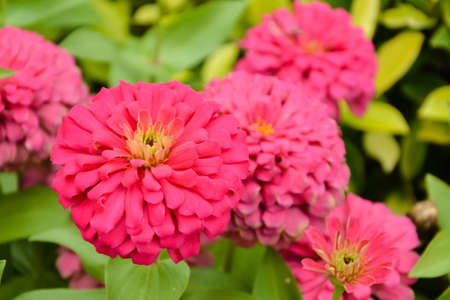 plants species: Zinnia flowers are commonly grown ornamental species. Especially in the United States The colorful flowers of various colors, easy to care for plants and flowers grow very fast.
