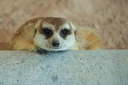 Meerkat classified in the phylum chordate. Floor mammalian milk A small body size.