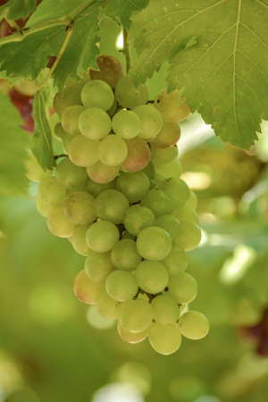 lasting: Grapes are perennial plants It is a creeping shrub Looks solid and stems. King lasting over one season if left to grow naturally bittersweet branches island. Rounded edges tucked deep concave five-lobed leaves are heart-shaped. A bouquet of flowers branch