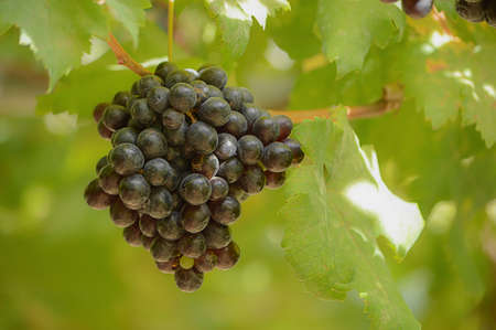 Grapes are perennial plants It is a creeping shrub Looks solid and stems. King lasting over one season if left to grow naturally bittersweet branches island. Rounded edges tucked deep concave five-lobed leaves are heart-shaped. A bouquet of flowers branch