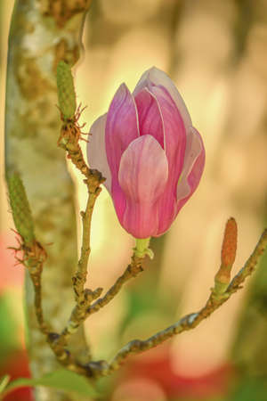 quite: Magnolia is an ancient genus that evolved before bees. The shape of the flower is shaped to lure the beetle to help breeding. Gaysorn is female (carpel) is quite strong to prevent damage from the climb and was gnawed by the beetle. Stock Photo