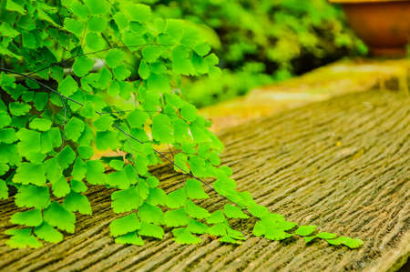 tropical native fern: Black Rod fern is native to tropical America. A weed or invasive species in nature in tropical Asia. Thailand is more common in the south. Based on the open air in the tropical rain forest and swamp.