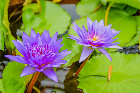 Water-lilies are among the most primitive dicotyledons. Features such as the spiral arrangement and large numbers of floral leaves are considered to be signs of this.