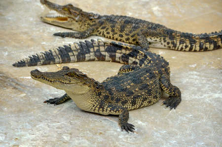 Freshwater crocodile or alligator or crocodile swamp, freshwater species are native to Thailand in Vietnam, Cambodia, Laos, Thailand, Kalimantan, Java and Sumatra is quite a big way medium sized crocodile.