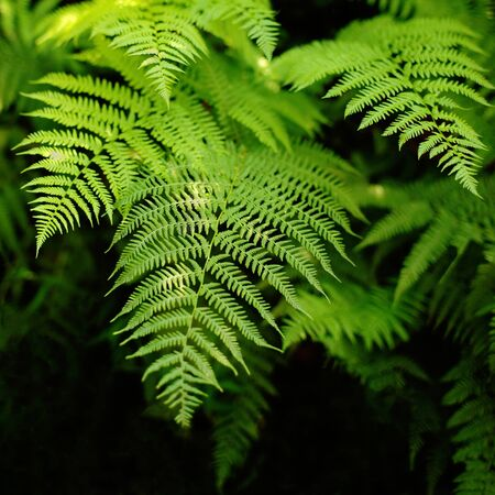 fresh green fern leaves on black background, natural floral fern background