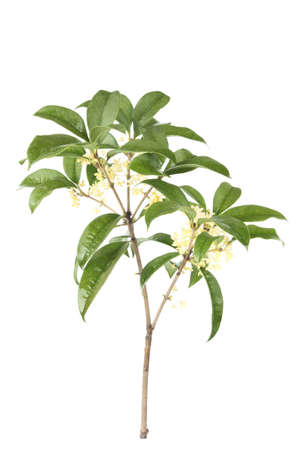 reverie: osmanthus (sweet olive)branches with white background Stock Photo