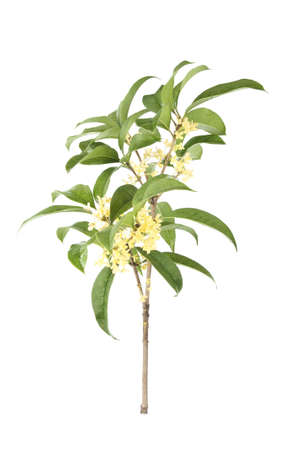 reverie: branch of the sweet-scented osmanthus on a white background