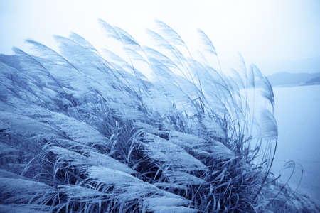 fluffy tuft: the reed grass by the wind in lakeside,blue tone Stock Photo
