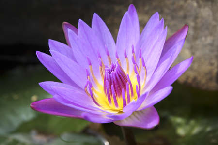 water lily in full bloom photo