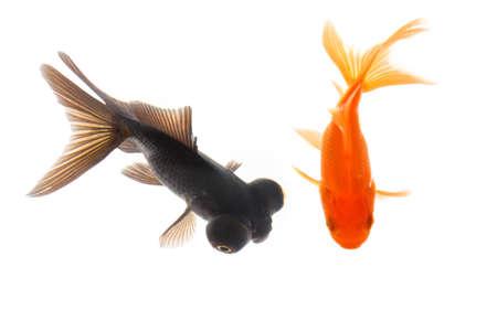 peces de colores: dos peces dorados nadando con fondo blanco