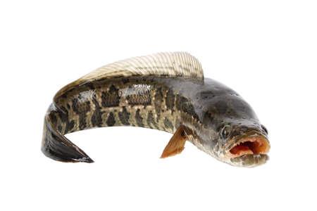 ferocious: snakehead is a ferocious fish isolated on white Stock Photo