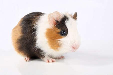 guinea pig isolated on white photo