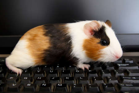 guinea pig: a tame guinea pig on the computer keyboard Stock Photo