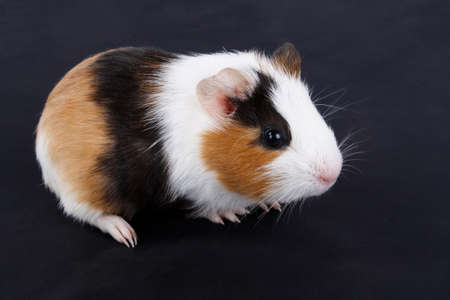 three-color guinea pig with black background photo
