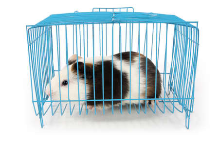 guinea pig in cage with white background photo