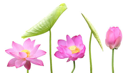 pink lotus flower and leaf isolated on white  photo